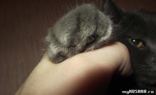 Лапка британской нежной серой кошки