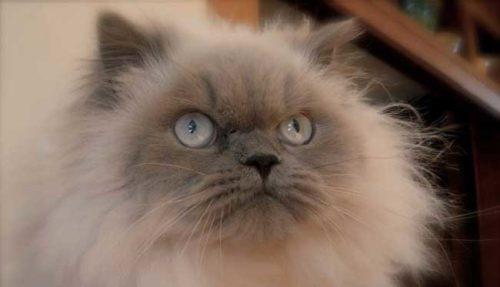 Пушистый гималайский кот смотрит сердитым взглядом