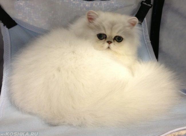 Пушистый белый персидский кот