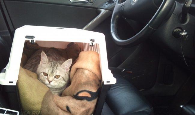 Серая кошка в белой переноске в машине путешествует