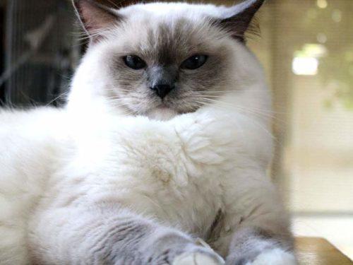 Пушистая кошка породы регдол с голубыми глазами смотрит вперед