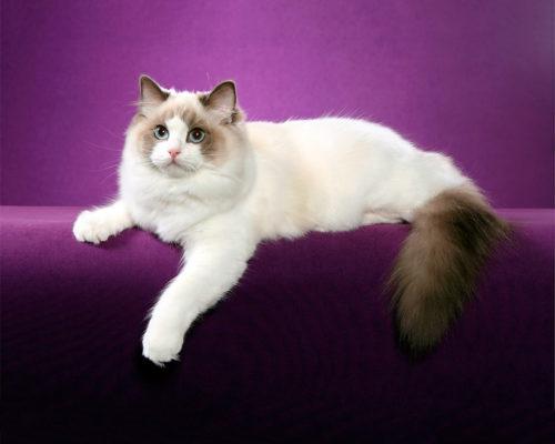 Пушистая кошка породы регдол на фиолетовом фоне