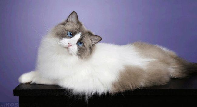 Кошка породы регдол с голубыми глазами лежит на черном столе