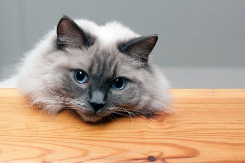 Пушистая кошка породы регдол облокотилась на деревянный стол