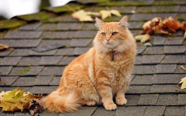 Рыжий пушистый кот с ошейником на крыше дома