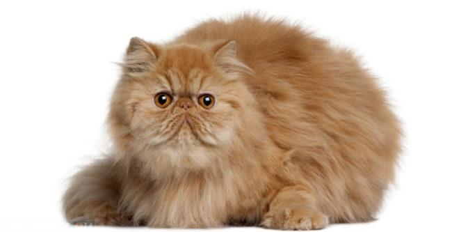 Рыжий пушистый персидский кот на белом фоне