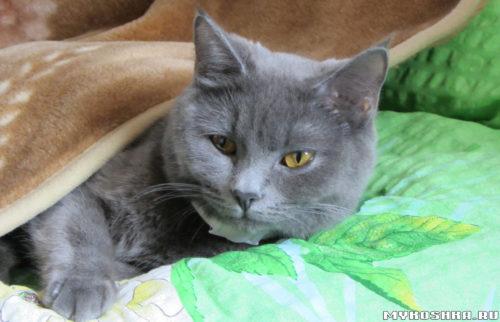 Британская кошка лежит под одеялом в кровати хозяина