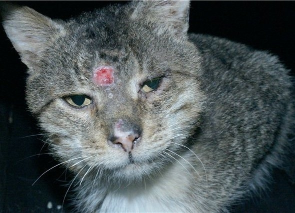 Саркоптоз на мордочке серого кота