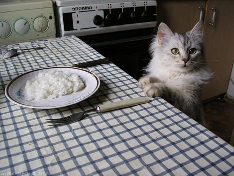 Кот сидит на стуле перед тарелкой с рисом
