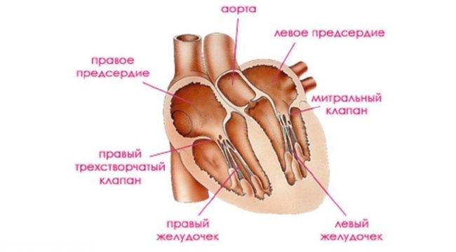 Строение сердца у кошки на схеме