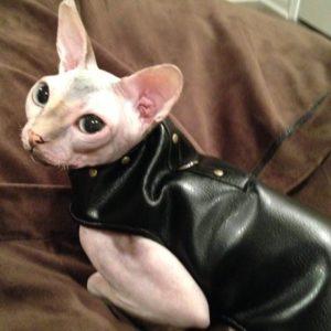 Шлейка-комбинезон на кошке породы Донской Сфинкс