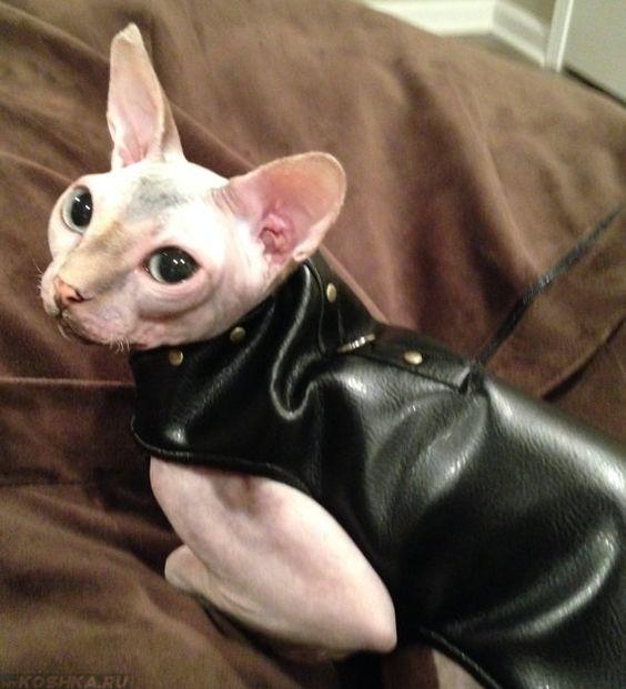 origin of domestic cats