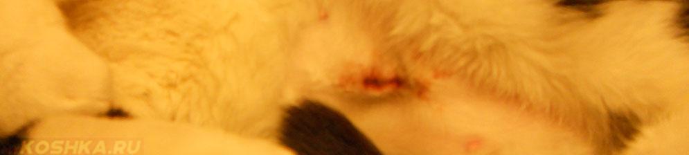 Шов у кошки после стерилизации кровоточит