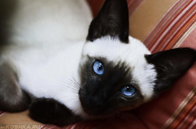 Сиамская кошка с голубыми глазами лежит на полу