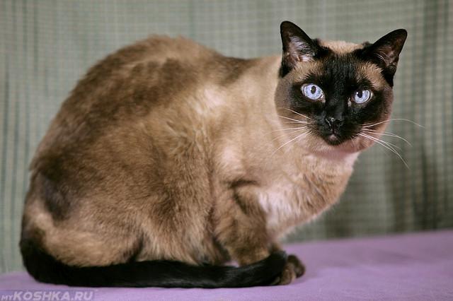 Сиамская домашняя кошка в возрасте 12 лет