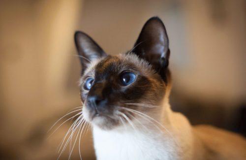 Сиамская кошка с длинными белыми усами и голубыми глазами