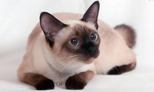 Сиамская кошка с голубыми глазами на белой поверхности