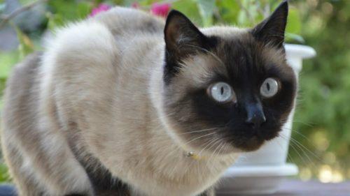 Сиамская кошка на улице сосредоточенно смотрит в сторону