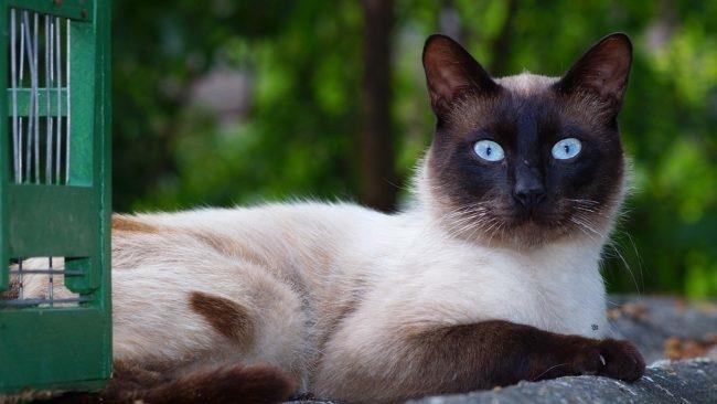 Сиамская кошка с голубыми глазами лежит на улице