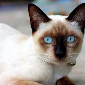 Сиамская кошка с голубыми глазами смотрит вперед