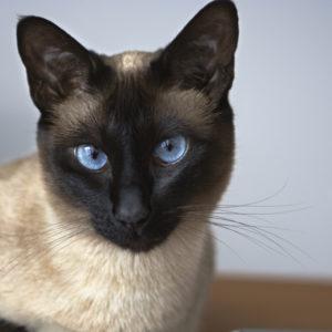 Сиамская кошка с голубыми глазами на голубом фоне