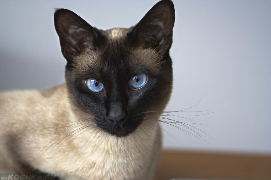 кошки сиамские картинки