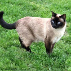 Сиамская кошка с голубыми глазами на зеленой траве