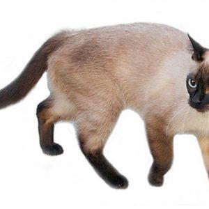 Сиамская кошка с голубыми глазами на белом фоне