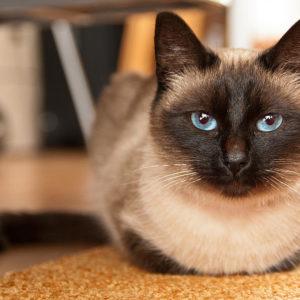 Сиамская кошка с голубыми глазами лежит на ковре