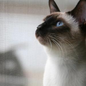 Сиамская кошка с голубыми глазами смотрит вверх