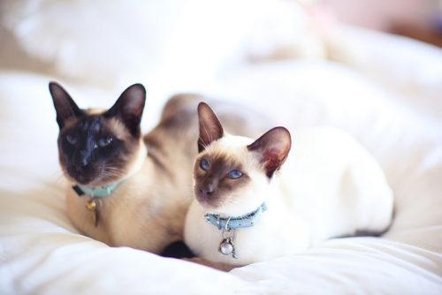 Две сиамские кошки сидят на белой поверхности