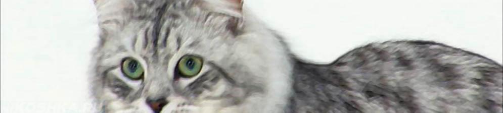 Большая сибирская кошка вид сбоку