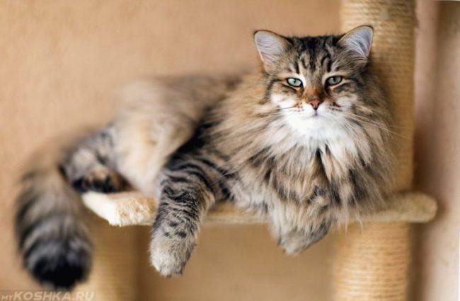 Пушистая сибирская кошка