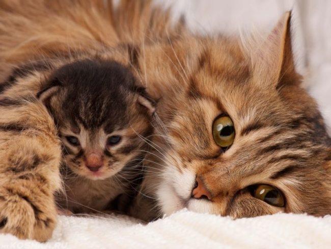 Пушистая сибирская кошка с котенком