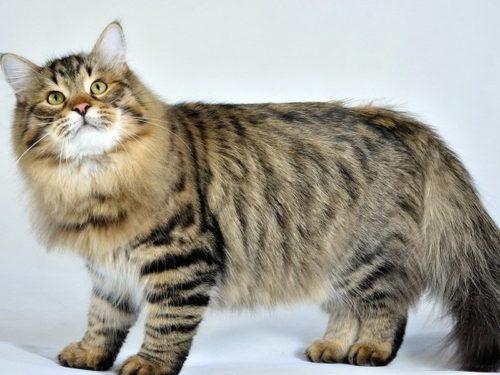 Коричневая полосатая пушистая сибирская кошка