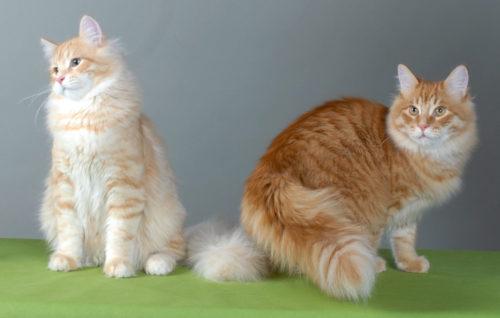Два пушистых сибирских кота