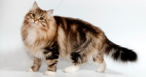 Коричневая пушистая сибирская кошка
