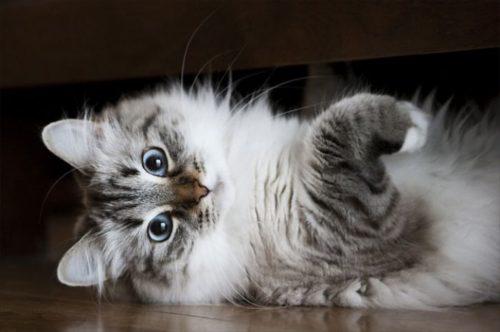 Пушистая серая сибирская кошка на полу