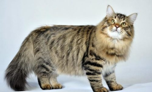 Коричневый полосатый пушистый сибирский кот