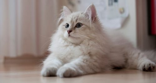 Белая пушистая сибирская кошка