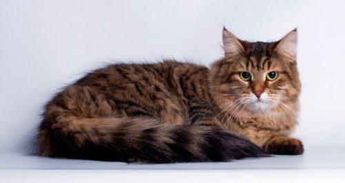 Пушистая коричневая сибирская кошка на голубом фоне
