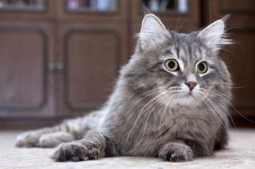 Пушистая сибирская кошка на полу в квартире