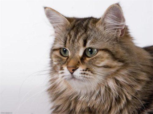 Пушистая морда сибирской кошки