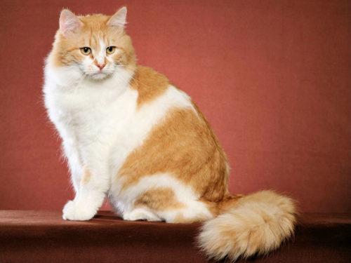 Пушистый рыжий с белым сибирский кот
