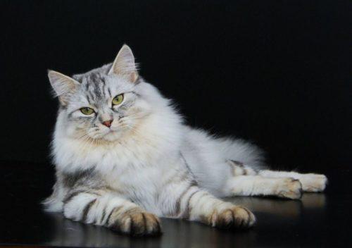 Пушистая серая сибирская кошка на черном фоне