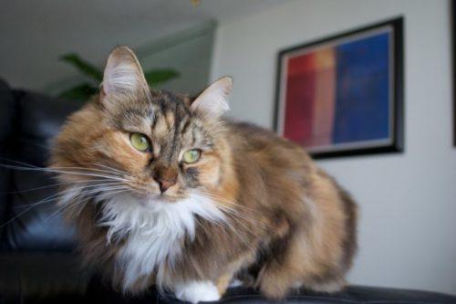 Пушистая сибирская кошка в квартире