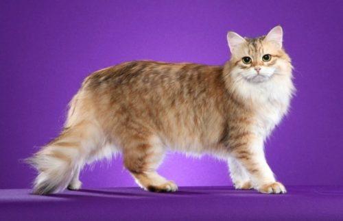 Пушистая сибирская кошка на сиреневом фоне