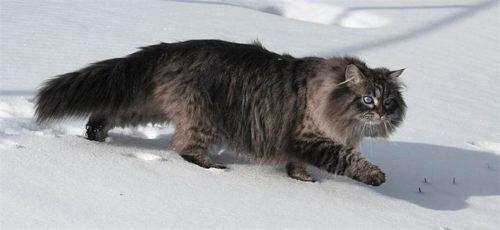 Пушистый сибирский кот на белом снегу
