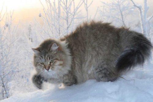 Пушистый сибирский кот зимой на снегу