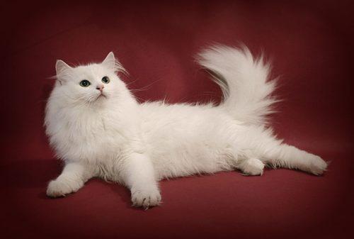 Белая пушистая сибирская кошка на бордовом фоне